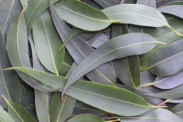 Сушеные листья эвкалипта