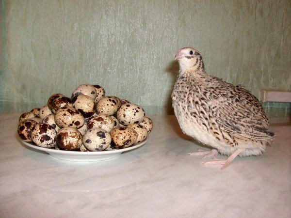 Перепёлка и её яйца