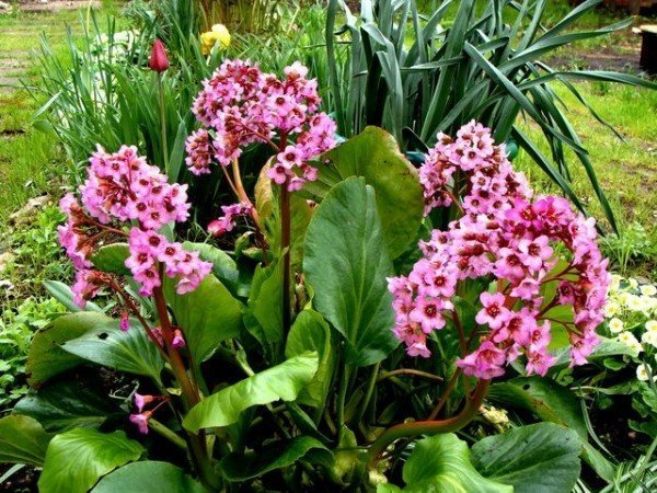 Бадан - это декоративное растение, которое также используют как лекарственное.