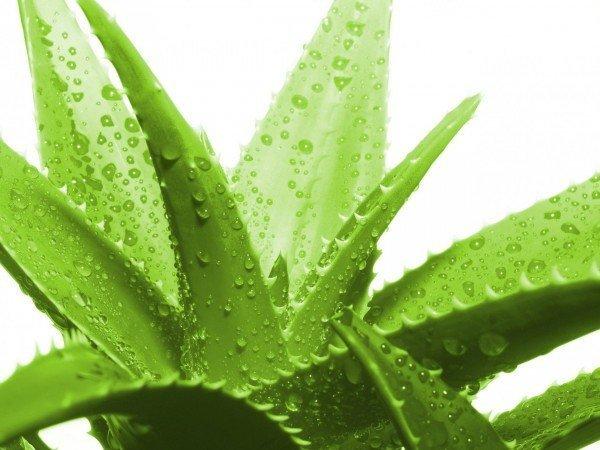 Листья алоэ имеют много полезных свойств