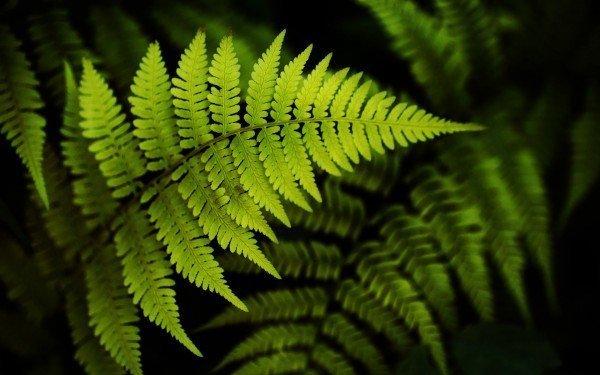 зеленные листья папоротника