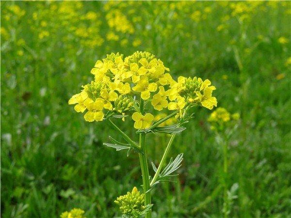 Сурепка в цвету - лекарственное растение.