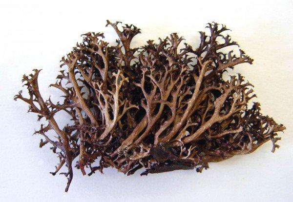 Пучок исландского моха