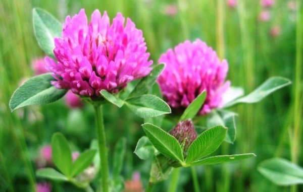Цветки клевера