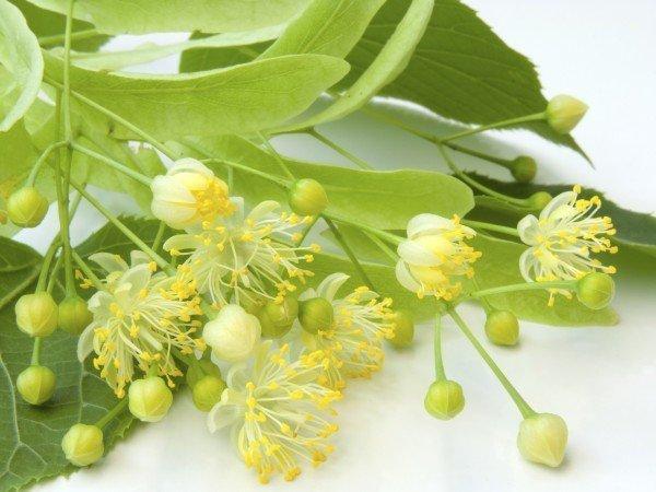 Веточка липы с зелёными листьями и цветами