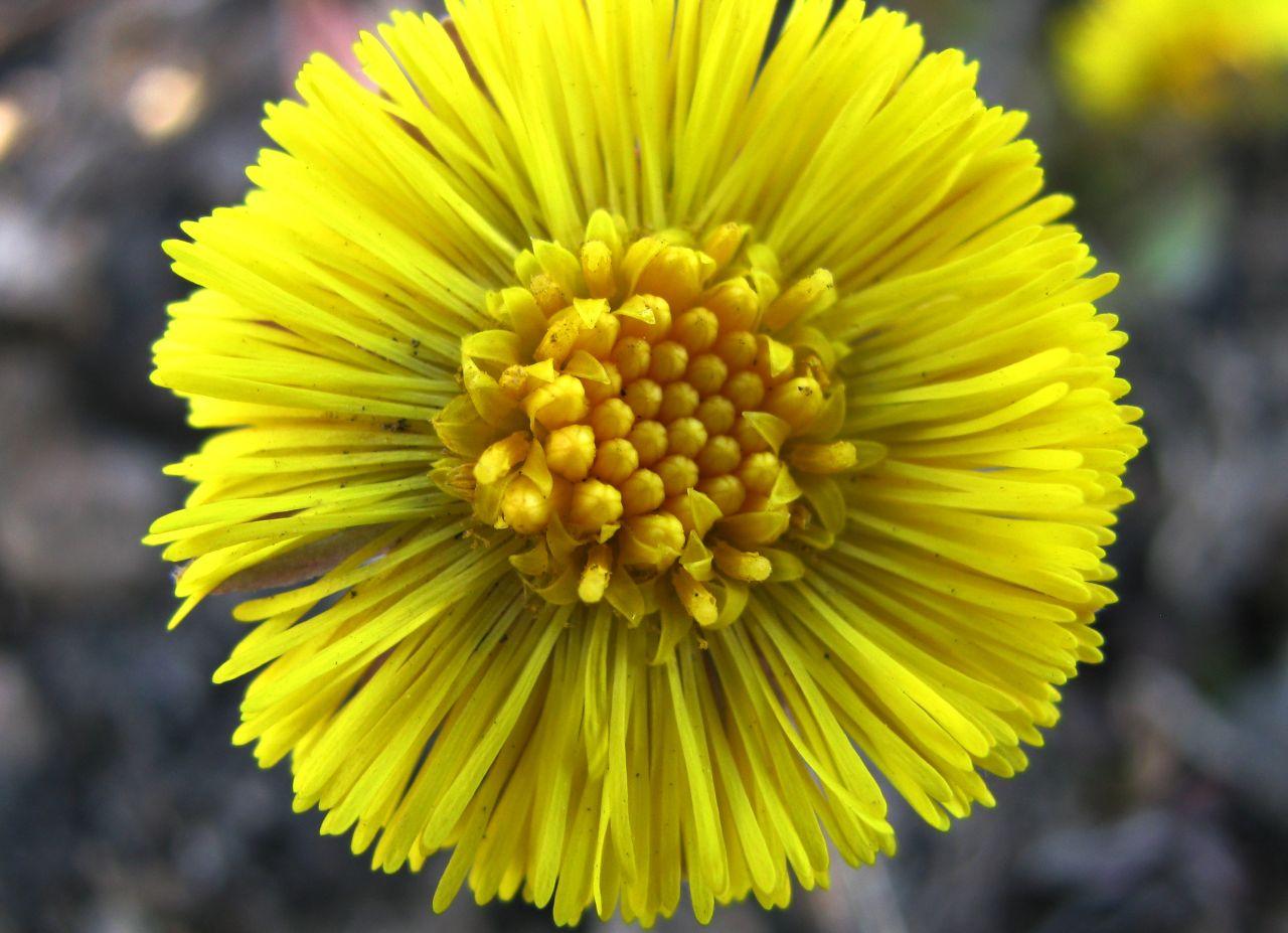 Цветок мать-и-мачехи крупным планом