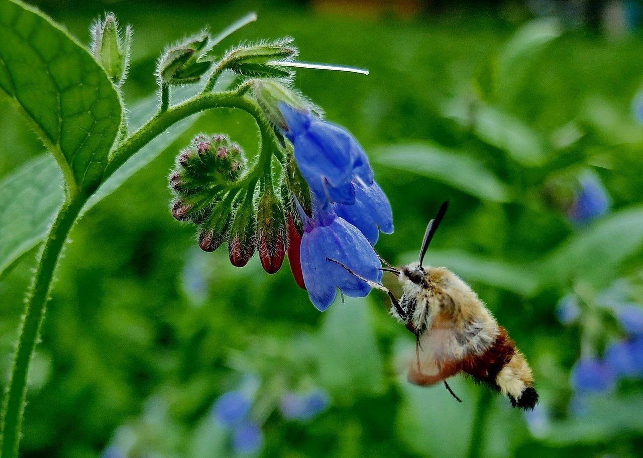 Цветок окопника и пчела