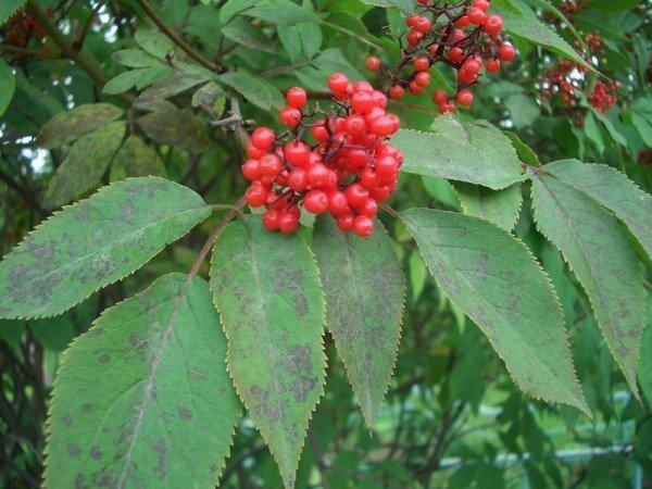 Листья и веточки бузины