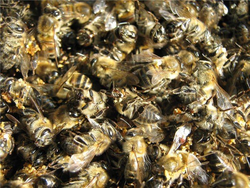 пчелиный подмор от сахарного диабета