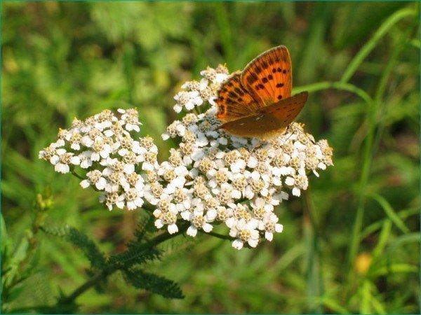 Тысячелистник и бабочка
