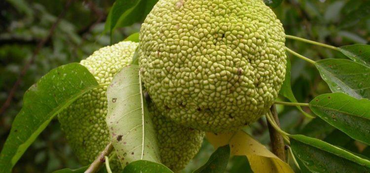 Адамово яблоко растение