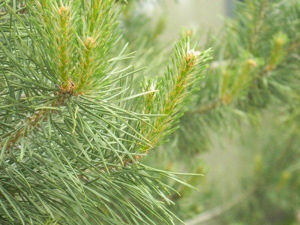 Сосновые ветки