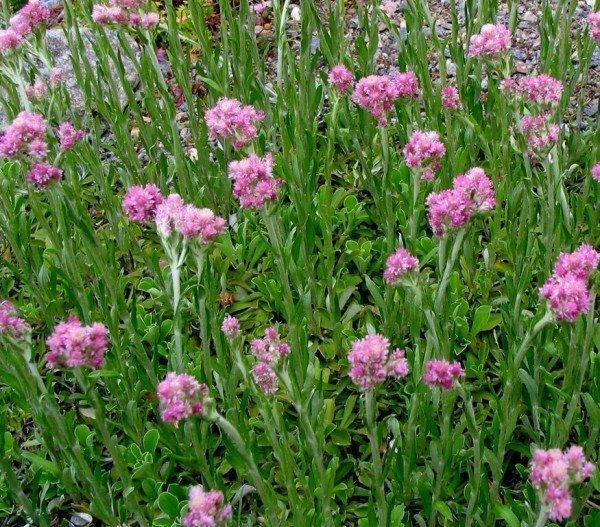 Сухоцвет (песчаник розовый)