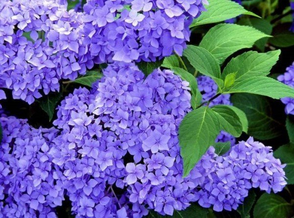 Цветки сирени фиолетовой