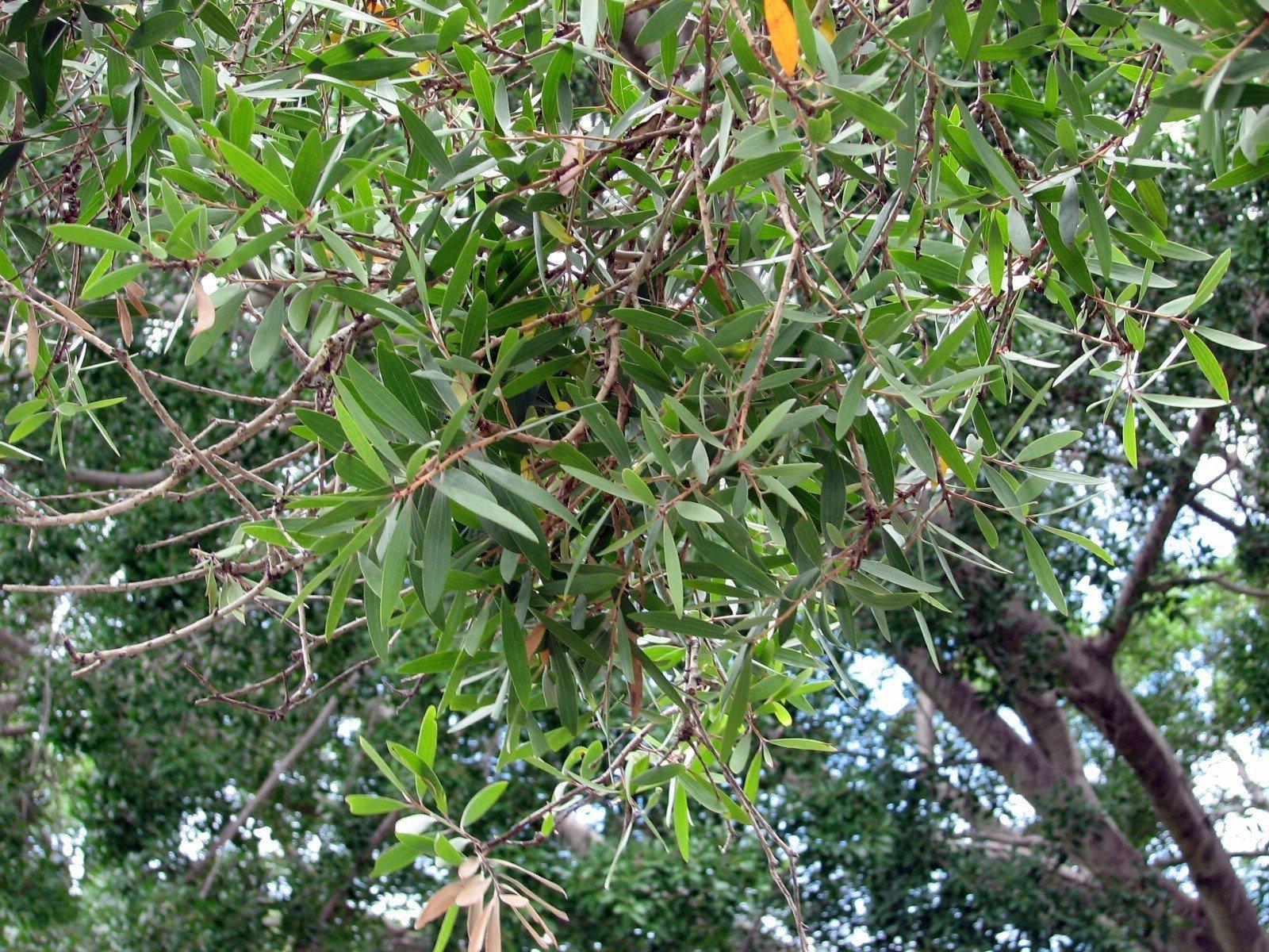 масло чайного дерева от паразитов в организме