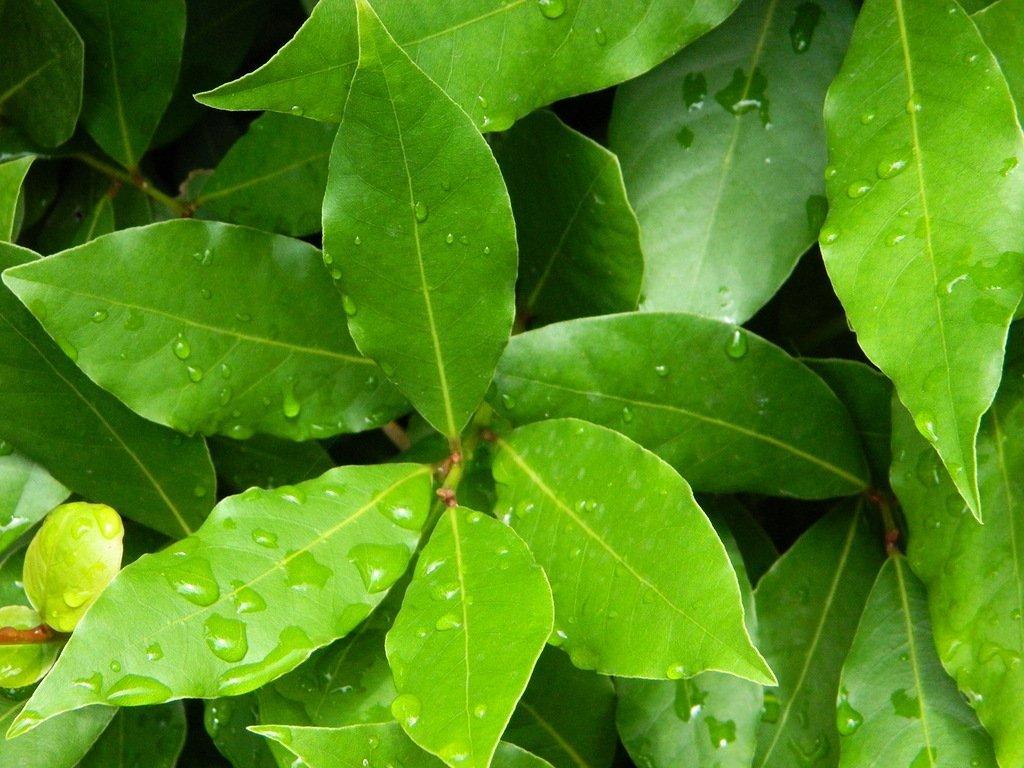 Лечение артрита листьями лавра, лопуха и брусники