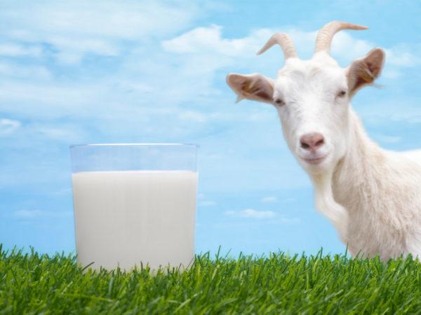 Коза и молоко