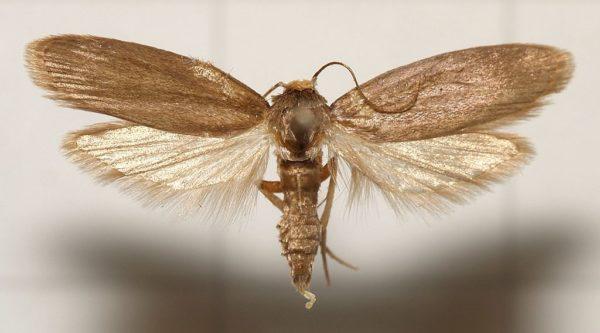 Бабочка огнёвки