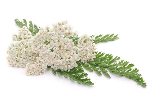 Цветок и листики ахиллеи