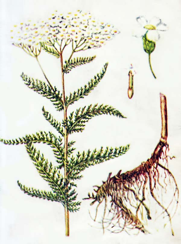 трава тысячелистника обыкновенного от паразитов