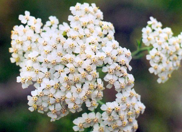 Крупный цветок тысячелистника