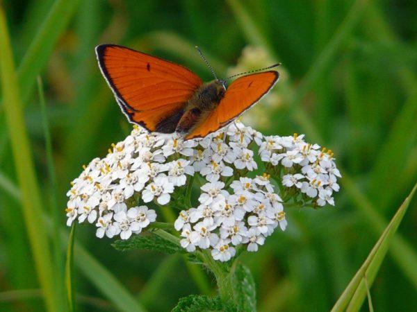 Цветок тысячелистника и красная бабочка на нём
