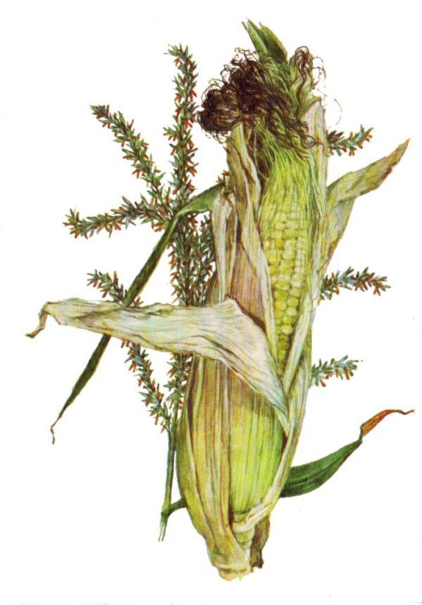 Початок и цветы кукурузы
