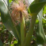 Женский цветок кукурузы