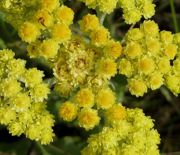 Распустившиеся цветы цмина