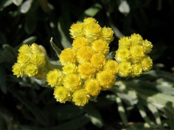 Лимонные цветы цмина