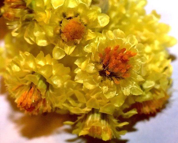 Цветы цмина крупным планом
