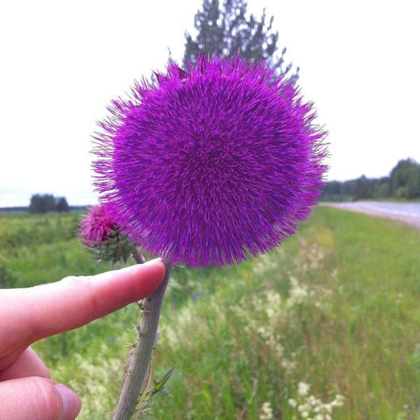 Цветок татарника в руке