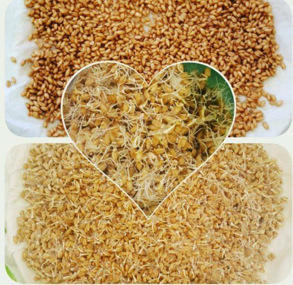 Проросшие и непроросшие пшеничные зёрна