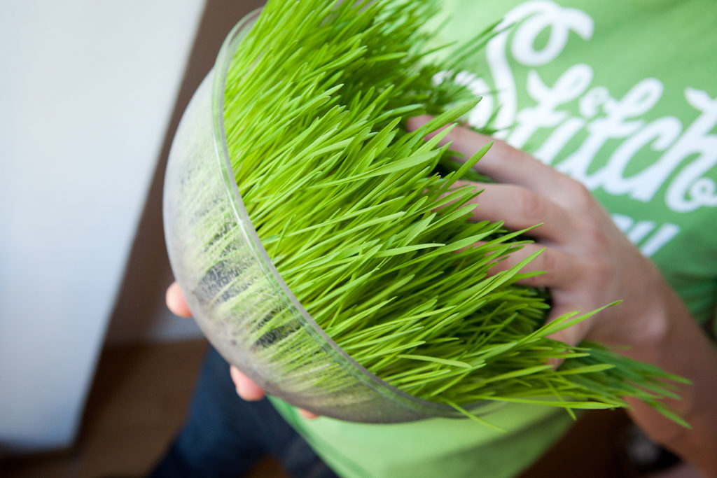 Как в домашних условиях посадить пшеницу в 432