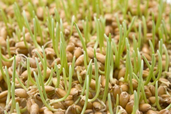 Зёрна пшеницы с ростками