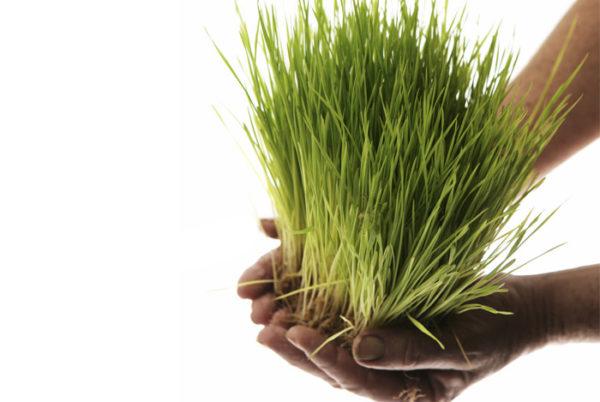 Ростки пшеницы в руках