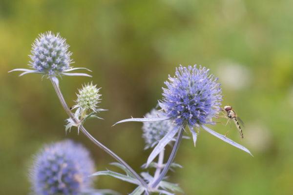Синий чертополох и насекомое
