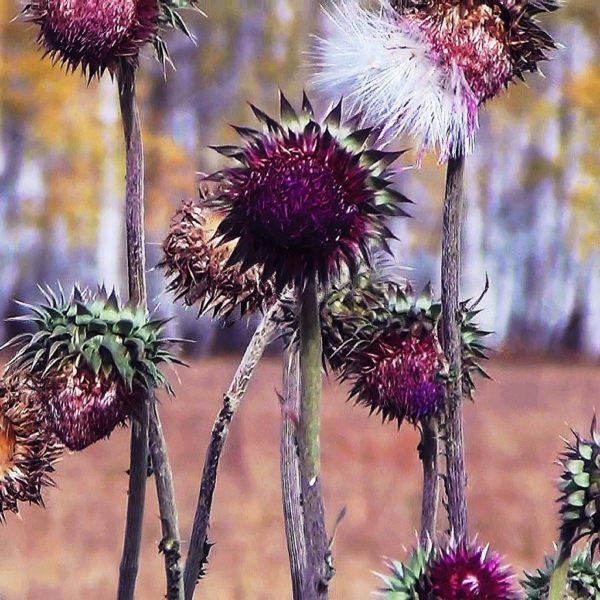 Сухие стебли и цветы татарника