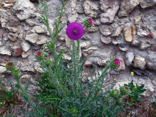 Татарник на фоне каменной стены