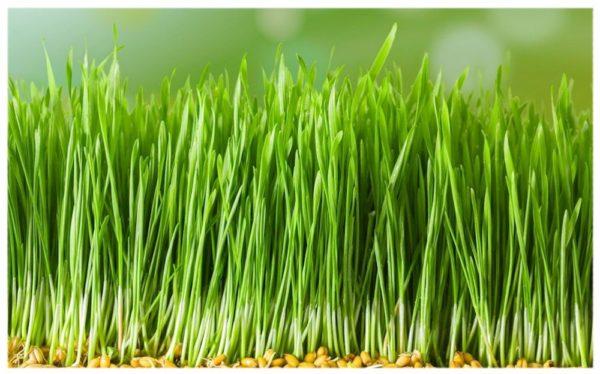Зелёные ростки пшеницы