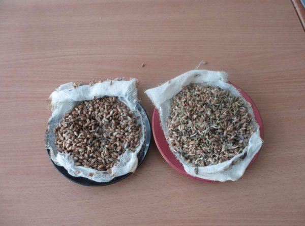 Зёрна пшеницы — целые и пророщенные