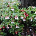 Плоды и цветы брусники