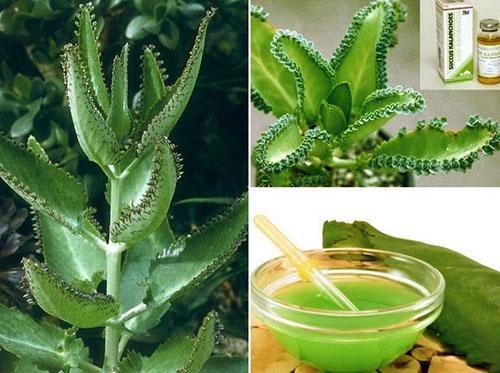 Коллаж: растения каланхоэ и свежий сок