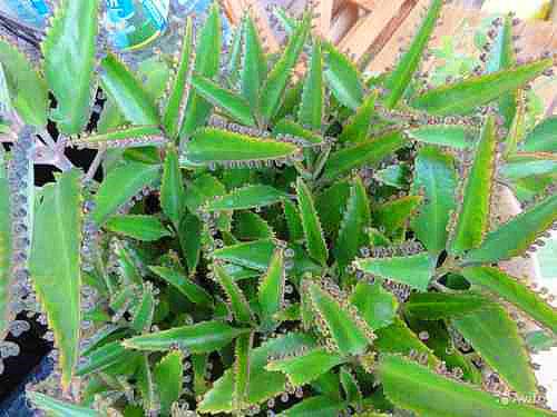 Зелёные листья каланхоэ