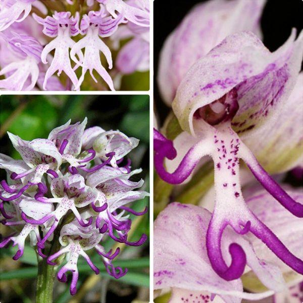 Коллаж из цветков ятрышника