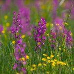 Ятрышник рыхлоцветковый