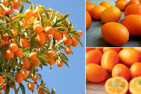 Кумкват на дереве, сорванный фрукт, разрезанный пополам плод
