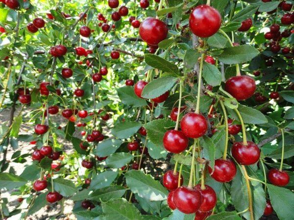 Вишня со спелыми плодами