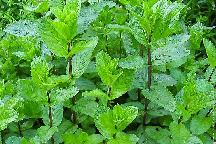 Растения от кашля
