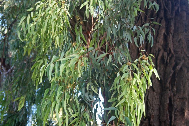 Листья эвкалиптового дерева используют для приготовления лечебной настойки